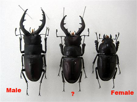 Extremely Rare Hermaphrodite Stag Beetle on Display in Chiba Prefecture