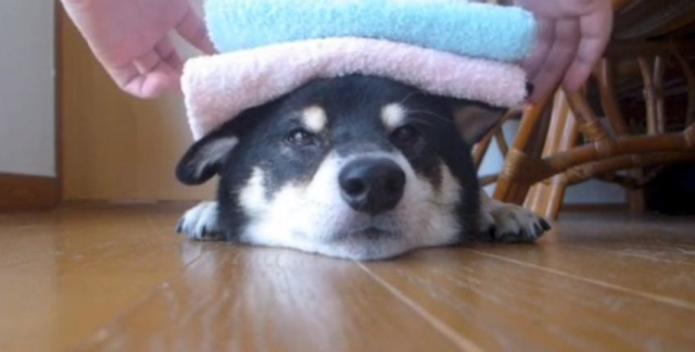 Towel Jenga: Super Patient Pooch Lets Owners Stack Towels on His Head