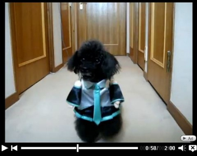 When Idol Meets Dog: Intricately Detailed Dog-Sized Hatsune Miku Outfit Wows Internet Users