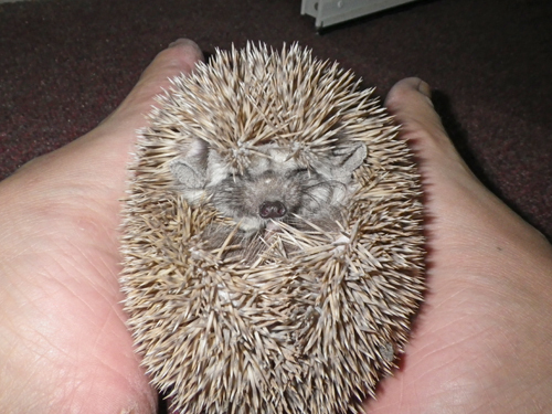 【Video】How to Communicate With Your Pet Hedgehog Using Your Feet
