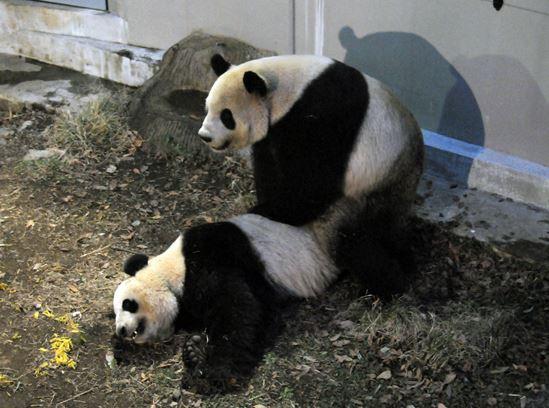 Panda Love: Ueno Zoo Invites Animal Lovers to Watch Its Rare Bears Get It On