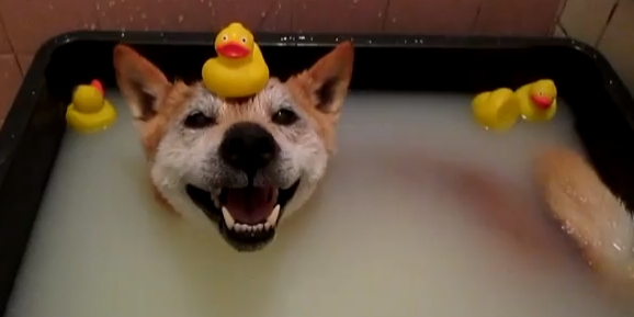 Watch this Adorable Video of a Shiba Inu Taking a Bath (Rubber Duckies Included)