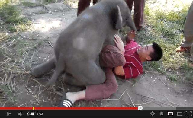 Baby Elephant Sits on Man, Hilarity Ensues 【Video】