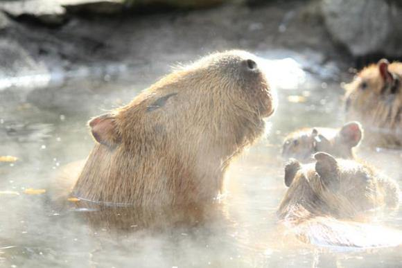 Cute Animals Enjoy Hot Water Massage Therapy in Japan 【Video】