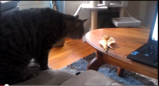 Smackdown! Cat takes on banana peel in fight to the finish  【Video】