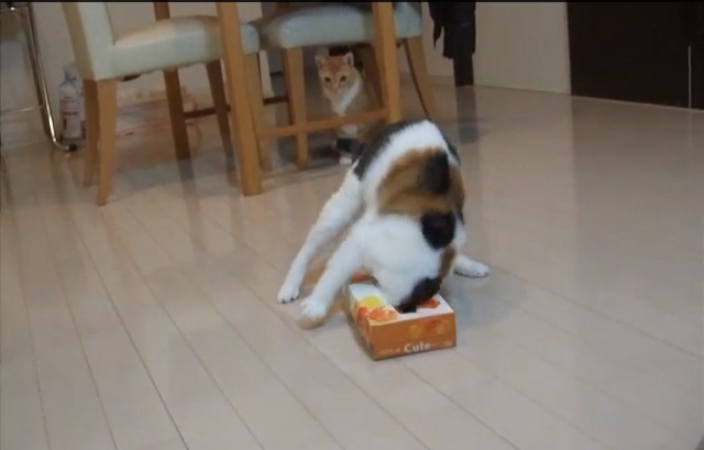 What's funnier than a cat running around with a tissue box on its head?
