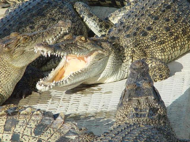 Villagers on their guard as crocodiles escape from breeding farm in China