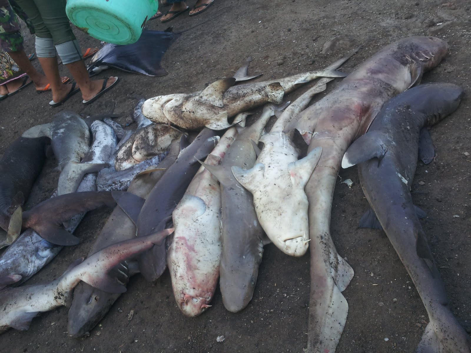 sharks on the ground