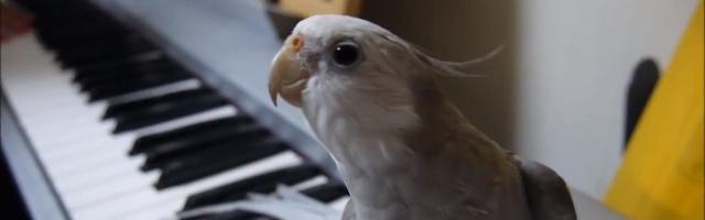 Bird's got talent! Cockatiel belts out karaoke favourite 'My Neighbor Totoro' 【Video】