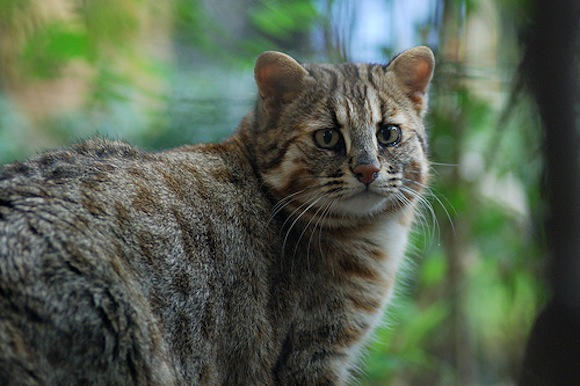 Man cautioned for keeping endangered leopard cat at home for 15 years, then asked for his advice