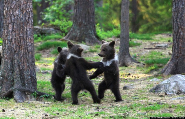 Dancing bear cubs straight out of Disney movie capture Japanese hearts