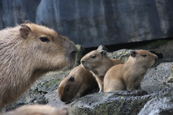 See the new capybara babies at Izu Shaboten Park — and maybe even name one of them!