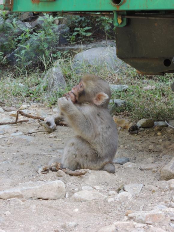 Jigokudani monkey (18)