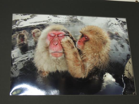 Jigokudani monkey (2)