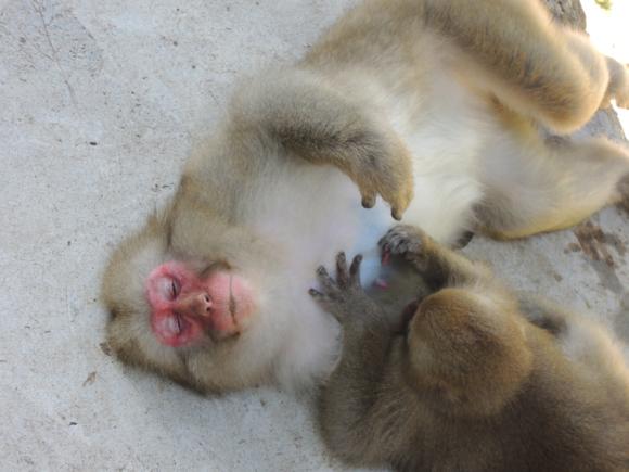 Jigokudani monkey (4)