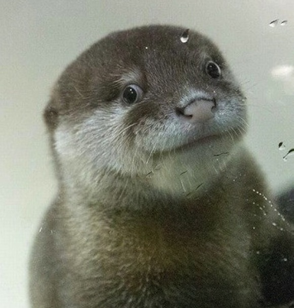 Japanese otter full of personality winning hearts over Twitter