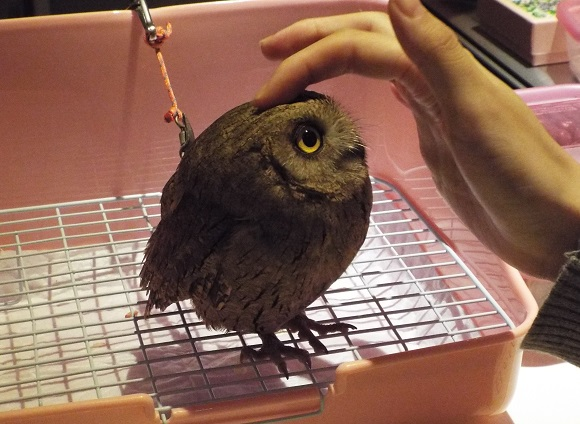 We visited the owl cafe in Tsukishima where the awesome never ends【Photos】