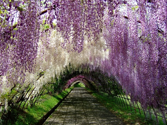 Move over cherry blossoms, wisteria may be the most beautiful flowers in Japan