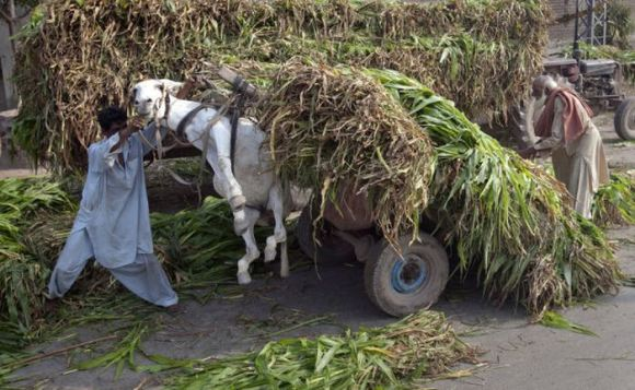 A man tries to control a heavily loaded cart of corn plants, used as animal feed, after it lifted his donkey in Lahore