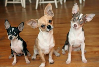 1) Chihuahua