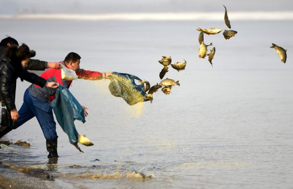 """""""Kind Chinese"""" vs """"Greedy Chinese"""": Efforts to save wild carp instantly nullified"""