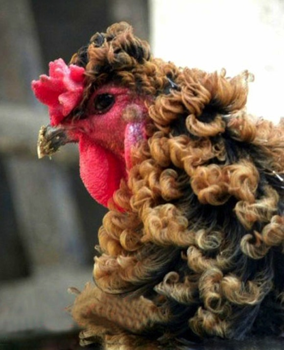 "Who's a pretty boy, then? Chinese ""permed"" chicken ruffles feathers online"