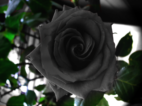 Rare Turkish rose is the most heavy metal flower you'll ever see