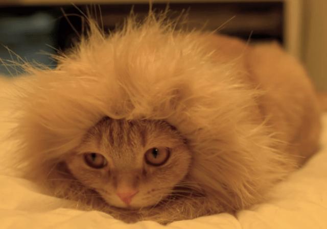 【Monday Kickstart】Lion Kitty is not pleased
