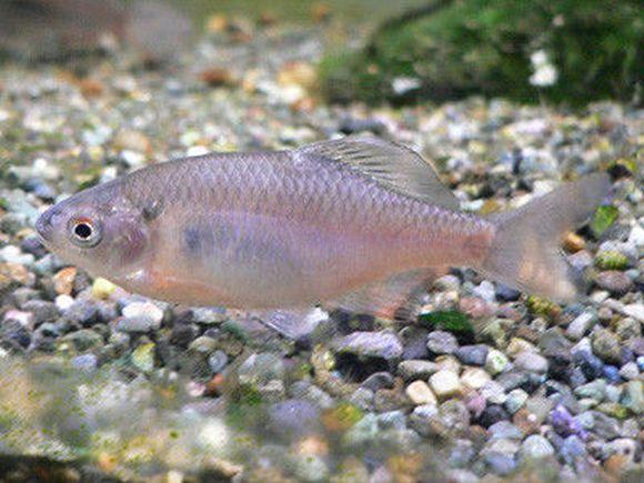 Fishermen (illegally) save endangered Japanese fish species