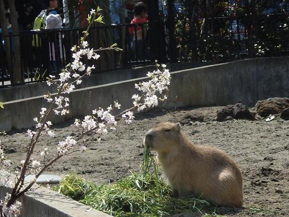 Capybara sakura