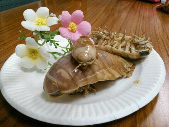 Dinner is served! Get your teeth into giant marine isopods – tastes just like chicken!