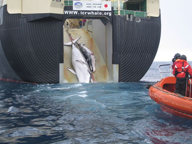 International Court of Justice orders halt to Japanese whaling