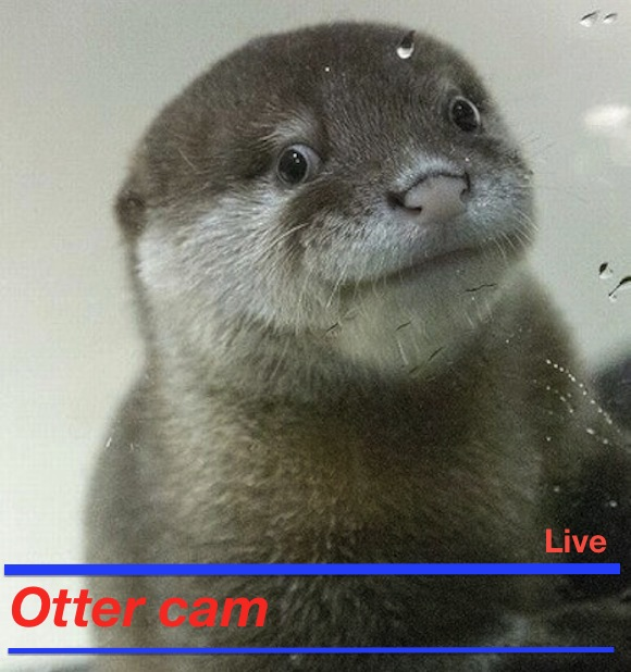 Live otter-cam to be broadcast for 33 hours — will otters' secret lives be revealed?