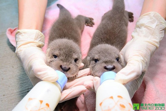 Devastatingly cute otters strike again — this time they're just little babies!【Pics and videos】
