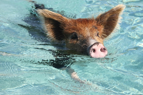 "You can find the happiest pigs in the world on ""Pig Island"", and swim with them too!【Photos】"