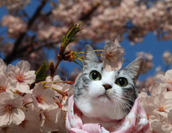 Apparently cats enjoy cherry blossoms as much as we do【Photos】