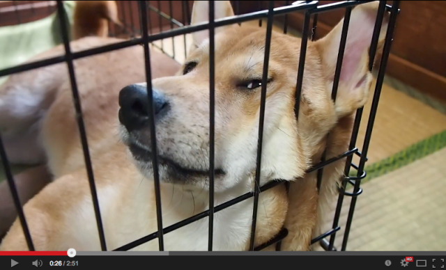 Sulky Shiba can't hear you… or can he!? 【Video】