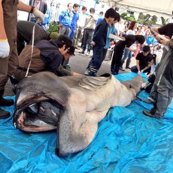 2014.05.09 megamouth deep sea life