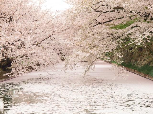 "Fallen cherry blossoms make gorgeous ""sakura carpet"" at Hirosaki Park 【Photos】"