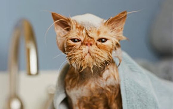 Why your cat hates baths, but is fascinated by the bathtub