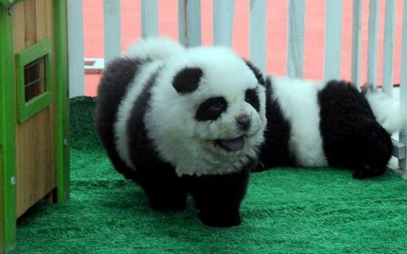 Pandas as pets?!? That's impawsible!!!