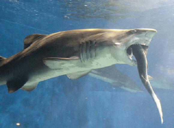 Shark shocks Ibaraki aquarium staff by swallowing…another shark
