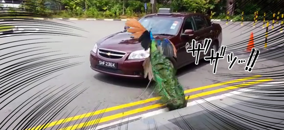 """Attack on car""? When real life angry birds attack"