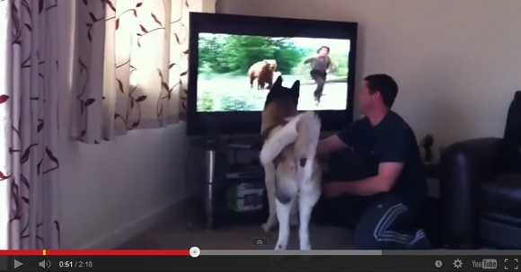 Adorable American Akita proves its pedigree with willingness to take on a bear