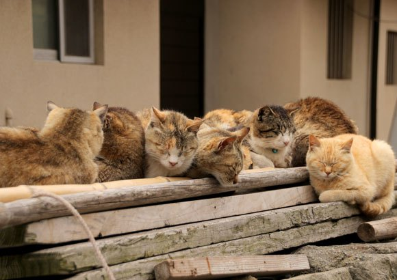 Aoshima Island has 100 cats, and we photographed almost all of them