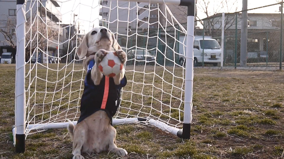 Step aside, Air Bud! Purin the Super Beagle is here to score some bea-goals!【Video】