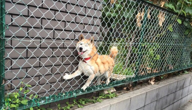 Dog found trapped in a Japanese suburb is a little sad, a little cute, thankfully all OK