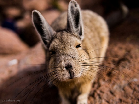 That's not a rabbit, that's Mother Nature's version of Pikachu (also known as Viscacha)【Photos】