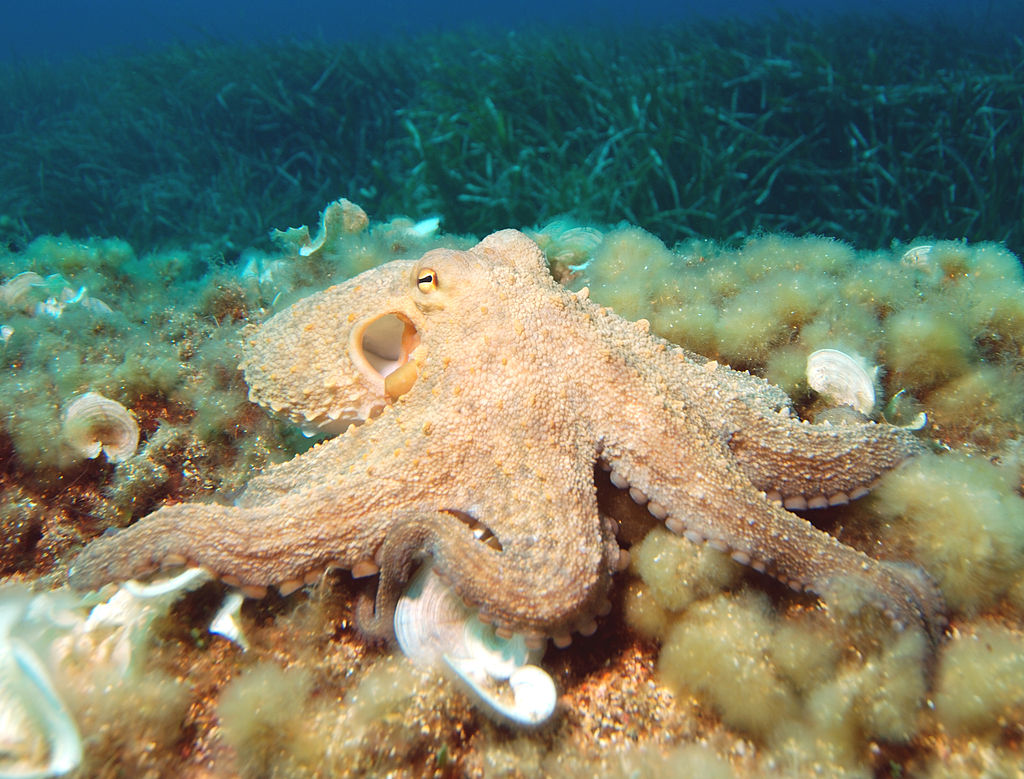 Octopus crawling around a pot vase