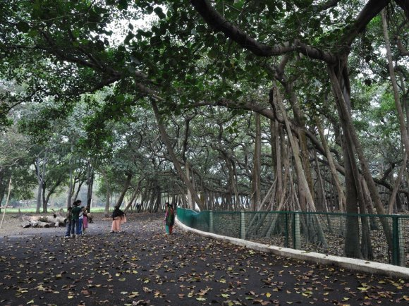 A Tree In India Is Bigger Than The Average Wal-Mart2